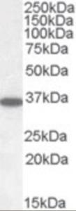 Western blot analysis of PPP2C in human cerebellum lysate (RIPA buffer, 35 ug total protein per lane) using PPP2C Antibody at 0.05 ug/mL.