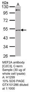Anti-CER1 Rabbit Polyclonal Antibody