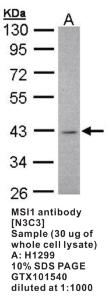 Anti-MSI1 Rabbit Polyclonal Antibody