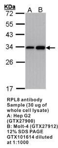 Anti-RPL8 Rabbit Polyclonal Antibody