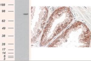 Anti-CTNNA1 Goat Polyclonal Antibody