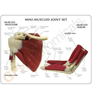 GPI Anatomicals® Mini Joint Set, Muscled