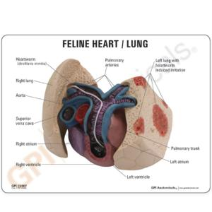 GPI Anatomicals® Feline Heart and Lung Model
