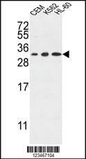 Anti-TSPAN2 Rabbit Polyclonal Antibody