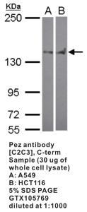 Anti-PEZ Rabbit Polyclonal Antibody