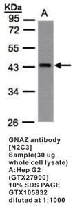 Anti-GNAZ Rabbit Polyclonal Antibody