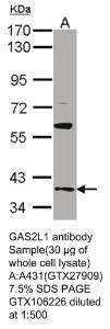 Anti-ALDH1L1 Rabbit Polyclonal Antibody