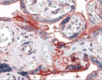 Immunohistochemistry of human placenta tissue stained using Integrin Beta 1 Monoclonal Antibody.