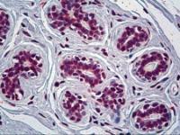 Immunohistochemistry of human breast tissue stained using CRY1 Monoclonal Antibody.