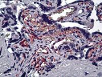 Immunohistochemistry of human placenta tissue stained using CD31 Monoclonal Antibody.