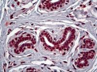Immunohistochemistry of human breast tissue stained using FOXA2 Monoclonal Antibody.