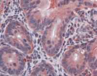 Immunohistochemistry of mouse small intestine tissue stained using IL-10 Monoclonal Antibody.