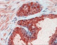 Immunohistochemistry of human prostate tissue stained using CMPK1 Monoclonal Antibody.