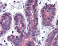 Immunohistochemistry of human breast tissue stained using RHOA Monoclonal Antibody.