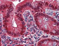 Immunohistochemistry of human colon tissue stained using Galectin 4 Monoclonal Antibody.