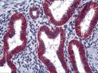 Immunohistochemistry of human uterus, endometrium stained using EPCAM Monoclonal Antibody.