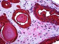 Immunohistochemistry of human prostate tissue stained using KLK3 / PSA Monoclonal Antibody.