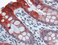 Immunohistochemistry of human colon tissue stained using Cytoke Monoclonal Antibody.
