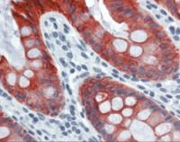 Immunohistochemistry of human colon tissue stained using Cytoke Monoclonal Antibody.