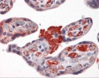 Immunohistochemistry of human placenta tissue stained using MSX2 Monoclonal Antibody.
