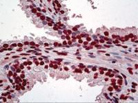 Immunohistochemistry of human prostate tissue stained using ATF1 Monoclonal Antibody.