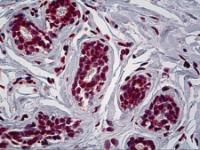 Immunohistochemistry of human breast tissue stained using RUNX1 Monoclonal Antibody.