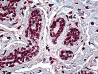 Immunohistochemistry of human breast tissue stained using RUNX1 Monoclonal Antibody.