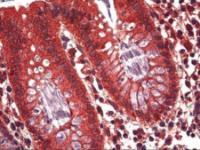 Immunohistochemistry of human colon epithelium tissue stained using Ghrelin Monoclonal Antibody.