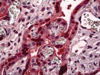 Immunohistochemistry of human placenta tissue stained using STAT5B Monoclonal Antibody.