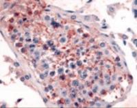 Immunohistochemistry staining of HTR1E in testis tissue using HTR1E Antibody.