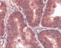Immunohistochemistry staining of FRAP1 in prostate tissue using FRAP1 Antibody.