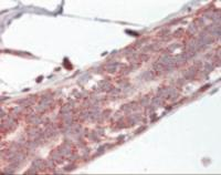 Immunohistochemistry staining of Prohibitin 2 in breast: formalin-fixed, paraffin-embedded (ffpe)Prohibitin 2 Antibody.