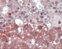 Immunohistochemistry staining of NTRK1 in adrenal tissue using NTRK1 Antibody.
