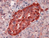 Immunohistochemistry staining of Transthyretin in pancreas tissue using Transthyretin Antibody.