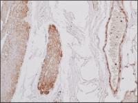 Immunohistochemistry staining of Beta Actin in human stomach tissue (4 microns) tissue using Beta Actin Antibody.
