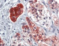 Immunohistochemistry of human adrenal tissue stained using PPARG Monoclonal Antibody.