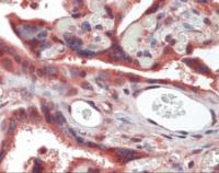 Immunohistochemistry of human placenta tissue stained using Myostatin Monoclonal Antibody.