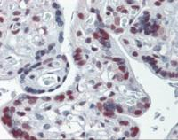 Immunohistochemistry of human placenta tissue stained using Cullin 9 Monoclonal Antibody.