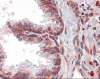 Immunohistochemistry of human prostate tissue stained using LYRIC Monoclonal Antibody.
