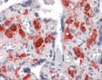 Immunohistochemistry of human placenta tissue stained using NKX3-1 Monoclonal Antibody.