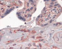 Immunohistochemistry of human placenta tissue stained using GBP1 Monoclonal Antibody.