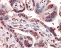 Immunohistochemistry of human placenta tissue stained using CGKI Monoclonal Antibody.