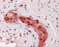 Immunohistochemistry of human colon, myenteric plexus tissue stained using SOX9 Monoclonal Antibody.
