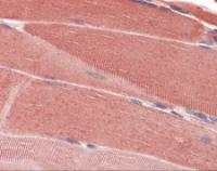 Immunohistochemistry of human skeletal muscle tissue stained using SRPK1 Monoclonal Antibody.