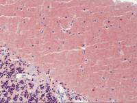 Immunohistochemistry of human brain tissue stained using PYGB Monoclonal Antibody.