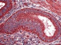 Immunohistochemistry of human uterus tissue stained using TRF1 Monoclonal Antibody.
