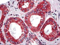 Immunohistochemistry of human prostate tissue stained using ACT1 Monoclonal Antibody.