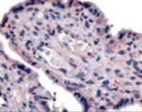 Immunohistochemistry staining of SLC7A5 in placenta tissue using SLC7A5 Antibody.