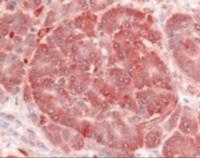 Immunohistochemistry staining of Insulin receptor in pancreas, islet of langerhans tissue using Insulin receptor Antibody.