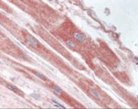 Immunohistochemistry staining of USP18 in heart tissue using USP18 Antibody.